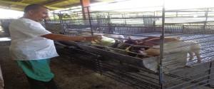 Producción animal en el ICA