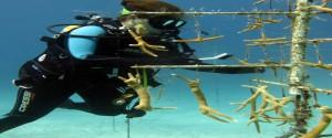 Más del 50 % de las colonias sembradas en Guanahacabibes ha sobrevivido. Foto: Cortesía del proyecto para la , restauración de arrecifes coralinos