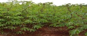 Campo sembrado de yuca