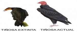 Tiñosas extinta y actual