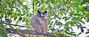 Búho de Shelley, avistado la semana pasada por un grupo de investigadores británicos en el bosque ghanés de Atewa. Foto: Dr. Robert Williams