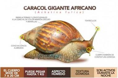 Caracol gigante africano