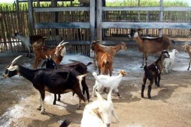 Finca de cabras en Cuba