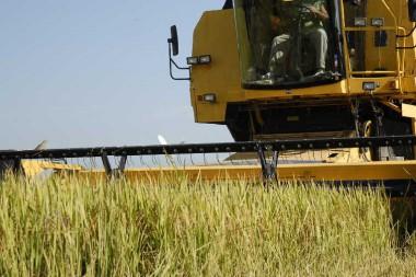 En Sur del Jíbaro se labora para la obtención de líneas, genotipos y nuevas variedades de arroz. (Foto: Vicente Brito/ Escambray)