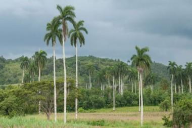 Expertos cubanos en botánica proponen incentivar reproducción de la Palma Real