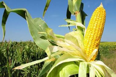 Campo sembrado de maiz