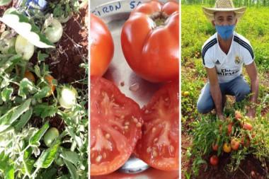 Nuevas variedades de tomates