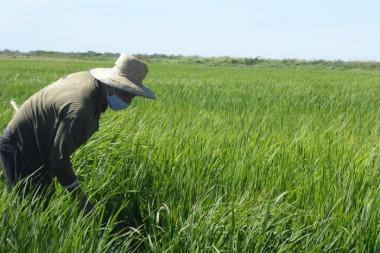 Campo sembrado de arroz