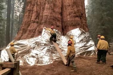 El árbol más grande del mundo es cubierto con aluminio para evitar que el fuego lo consuma