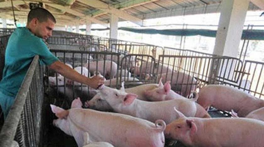 Programa porcino en Villa Clara con favorables indicadores